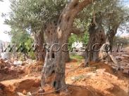 עץ זית בוגר