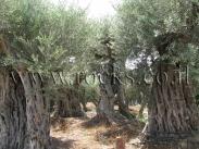 עצי זית עתיקים למכירה