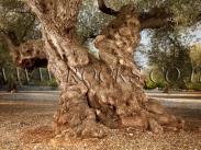 עץ זית עתיק מאוד